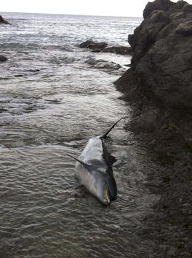 Detectan altos niveles de contaminantes tóxicos en delfines en Canarias