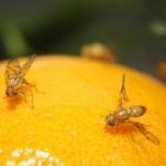 Libres de Mosca de la Fruta regiones de Michoacán, lo que beneficia su competitividad agrícola: SAGARPA