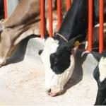 Organización mundial reconoce a México libre de enfermedades graves en bovinos