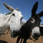 China importa millones de burros para usarlos en la medicina tradicional